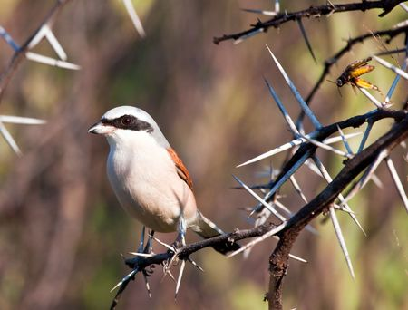 Redbacked shrike with food stuck into thorns photo