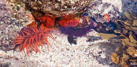 Bright orange sea anemone in a rock pool at the shore photo