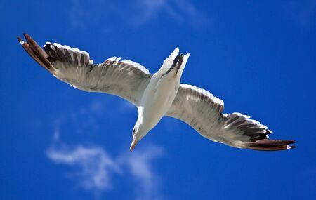 Sea gull against a bright blue sky seen from below with backlighting photo