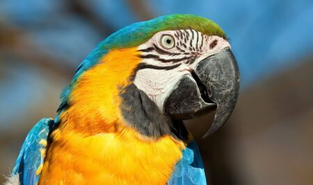 Blue and orange parrot looking closeup detail bright colour Stock Photo