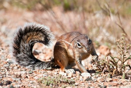 Ground squirrel eating grass seeds on the ground in the desert photo