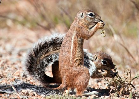 Two ground squirrels eating grass seeds on the ground in the dry Karoo photo