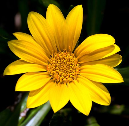 Macro of a bright yellow flower with dark background with detail photo