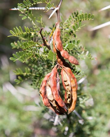 thorn bush: Brown Thorn bush seeds among green leaves with a camouflaged insect