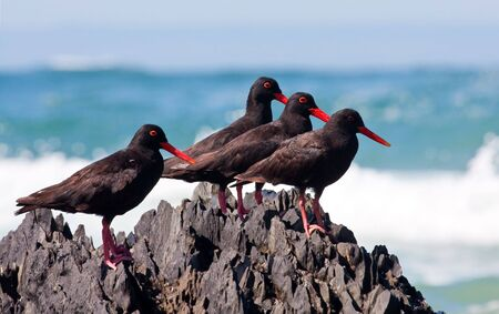 African Oyster Catchers sitting on a jagged rock with his food at the sea shore Stock Photo - 7505779
