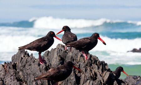 African Oyster Catchers sitting on a jagged rock looking for food Stock Photo - 7505780