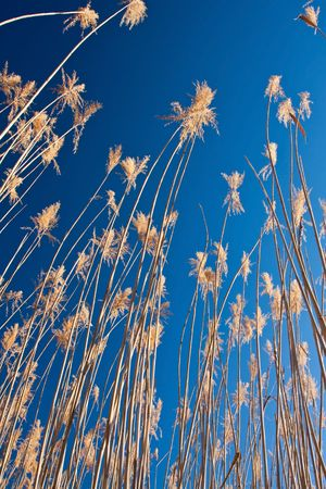 Reeds with blue sky at sunrise looking up photo