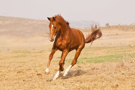 Chestnut horse running on a grass field on a farm