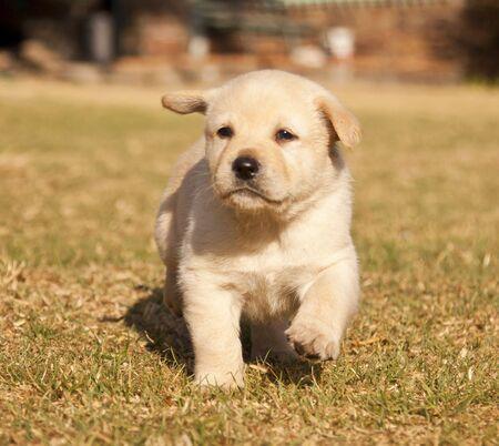 White laborador puppy runs on grass  in sunshine