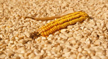 Yellow corn dry  head lying on white corn for a background photo