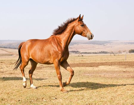 Brown horse running on dry grass and blue sky on farm