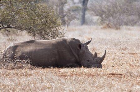 thorn bush: One rhino lying under a thorn bush in the sun Stock Photo