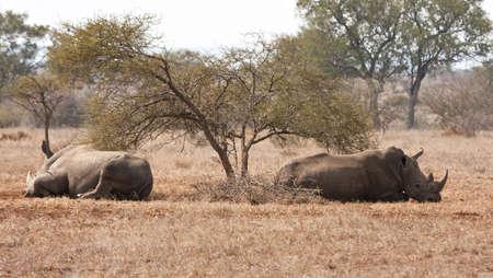 thorn bush: Two rhino lying under a thorn bush in the sun savanna