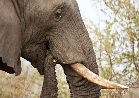 thorn bush: Elephand eating thorn bush and chew branch Stock Photo