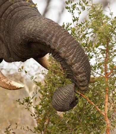 thorn bush: Elephand eating thorn bush stripping leaves
