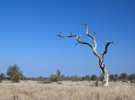 Landscape with dead tree in Kruger National Park with clear blue sky photo