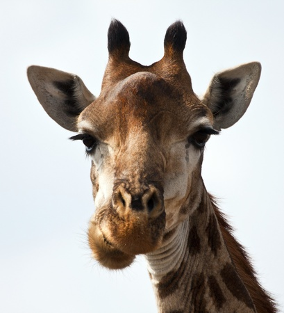 Giraffe portrait eating in sunshine photo