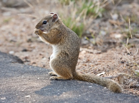 hair tuft: Squirrel sitting on a tar road eating seeds