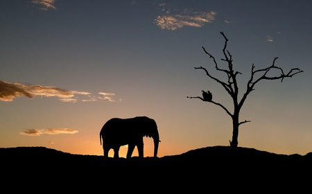 Silhouette of elephant and vultures on sunset in Africa photo