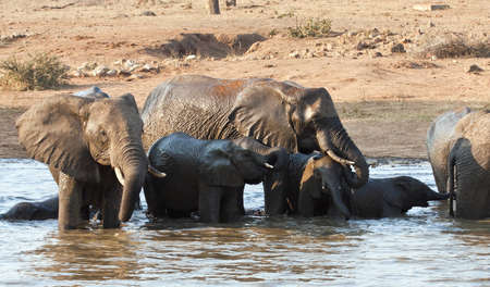 Wet elephant herd drinking at a waterhole and swim Stock Photo - 8596970