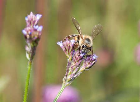 small purple flower: Macro of bee on small purple flower detail Stock Photo