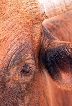 Brown cow potrait closeup portrait photo