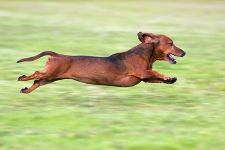 Dachshund running on green grass in sunshine photo