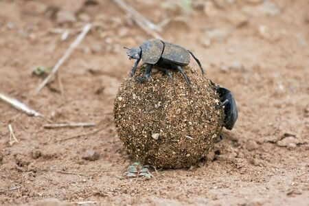 Dungbeetle rolling a ball of dung on the ground photo