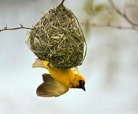 birds nest: Weaver, construyendo un nido en un �rbol con cielo azul Foto de archivo