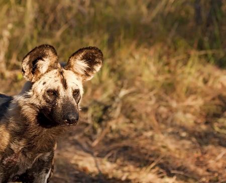 Wild dog closeup walking in grass on hunt Stock Photo - 10101040