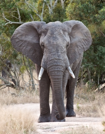 africana: Big elephant approacing along a road tusks trunk Stock Photo