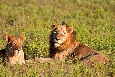 Male and female lion pair lying in green grass Stock Photo