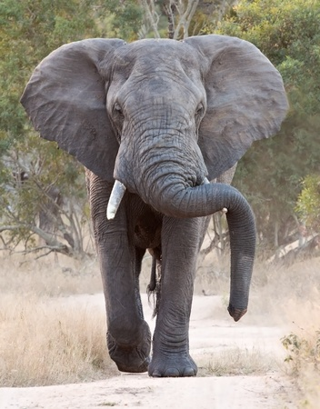 along: Big elephant approacing along a road tusks trunk Stock Photo