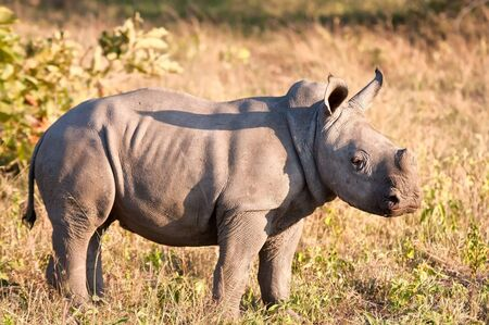 Rhino  calf in nature green grass alone looking photo