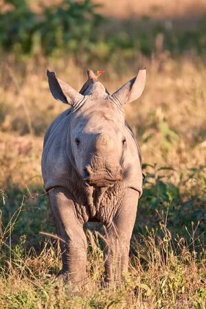 Rhino  calf in nature green grass eating photo