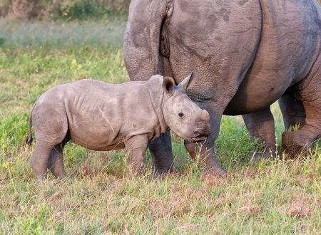 Rhino cow and calf in nature feeding photo