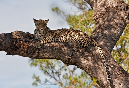 Female leopard lying in a tree hiding against the harsh sun