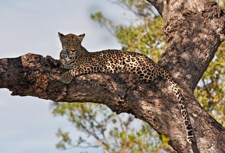 Femmina di leopardo che giace in un nascondiglio albero, contro il sole dura Archivio Fotografico - 10680041