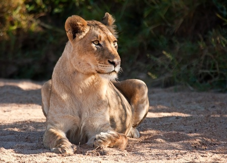 Lioness lying on sand looking alert after eating