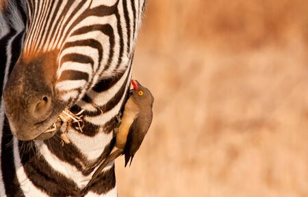 oxpecker: Redbilled-oxpecker pecking on zebras neck getting rid of ticks and fleas Stock Photo