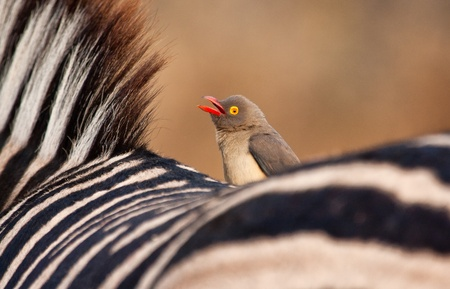 oxpecker: Redbilled-oxpecker sitting on zebras back singing his song