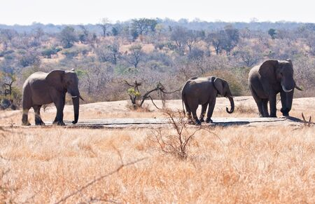 Three elephants drinking water in the hot sun photo
