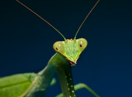 Macro shot of a green praying mantis with blue background Stock Photo