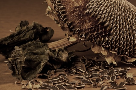 Dead sunflower with fallen seeds, creating an old, rustic look photo