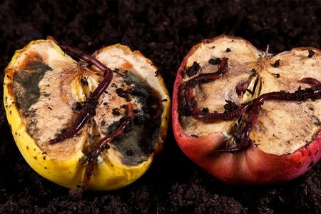 Rotten apples with worms lying on brown soil photo