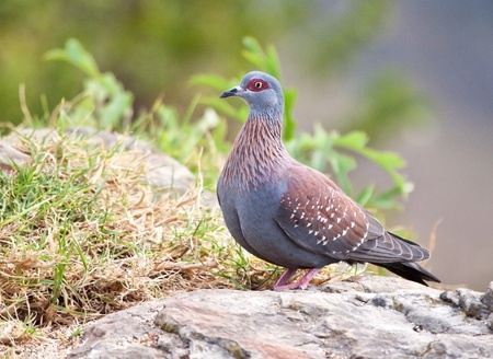 Speckled pigeon sitting on the edge of a cliff looking for food to eat Stock Photo