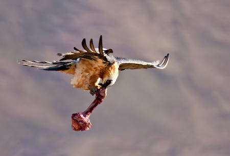 Bearded vulture flying away with a bone in his beak and claws photo