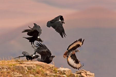 birdlife: Jackal buzzard being chased away by a few black crows