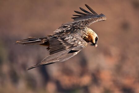 Bearded vulture flying in the mountains photo