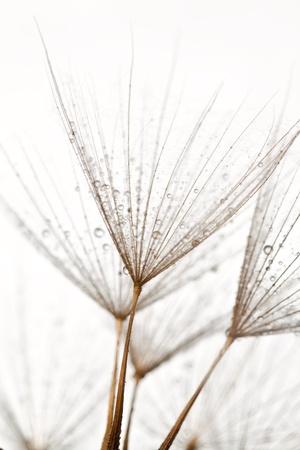 Wet dandilions on white background photo